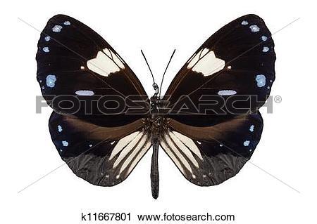 Stock Photography of Butterfly species Euploea radamanthus common.