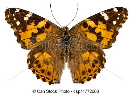 "Pictures of Butterfly species Vanessa cardui ""Painted Lady"" in."
