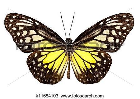 Stock Photo of Butterfly species Parantica aspasia k11684103.