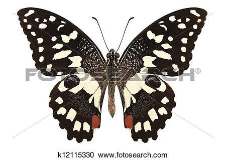 "Stock Photography of Butterfly species Papilio demoleus "" Lemon."