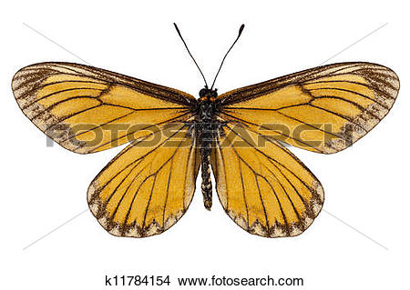"Stock Photo of Butterfly species Acraea issoria ""Yellow Coster."