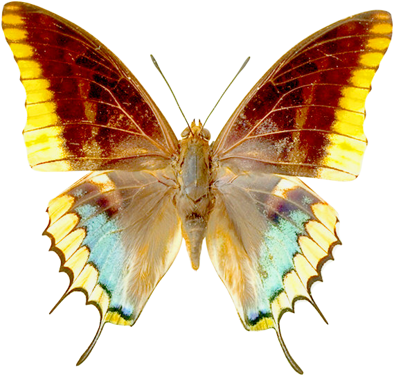 PNG Transparent Butterfly Clipart.
