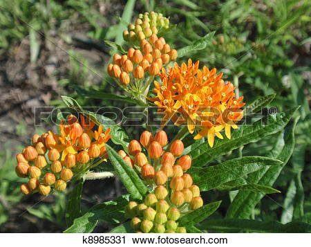 Stock Photography of Indian Paintbrush (Butterfly weed) (Asclepias.