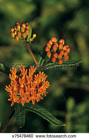 Stock Photography of Butterfly weed aka Orange Milkweed, Asclepias.