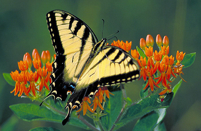 Tiger swallowtail on Butterfly weed.