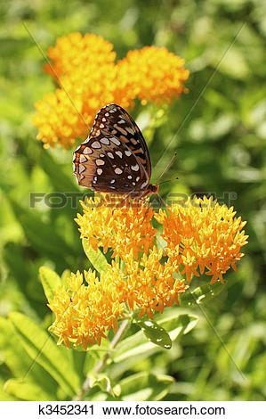Clipart of Butterfly on butterfly weed k3452341.