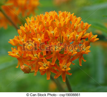 Stock Image of Butterfly Weed Milkweed Flowers.