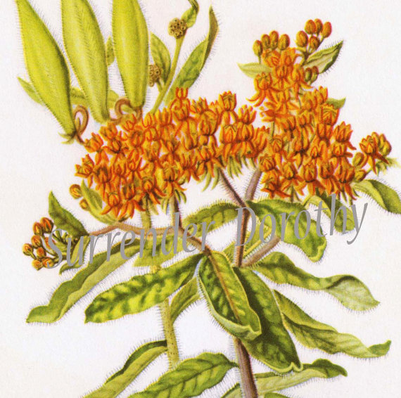 Butterfly Weed Flowers Botanical Art Vintage Lithograph Print by.
