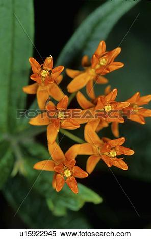 Stock Image of flowers design butterfly weed asclepias tuberosa.