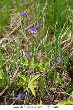 Butterwort Stock Photos, Images, & Pictures.