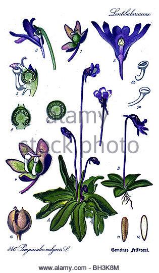 Common Butterwort Stock Photos & Common Butterwort Stock Images.