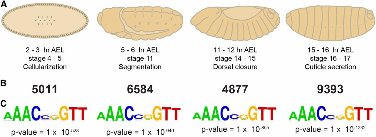 Stable Binding of the Conserved Transcription Factor Grainy Head.