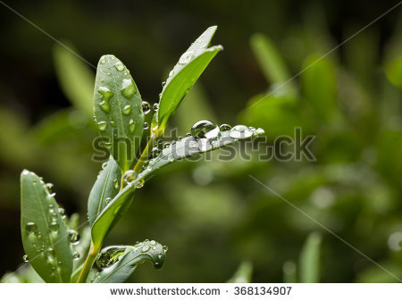 Buxus Stock Photos, Royalty.