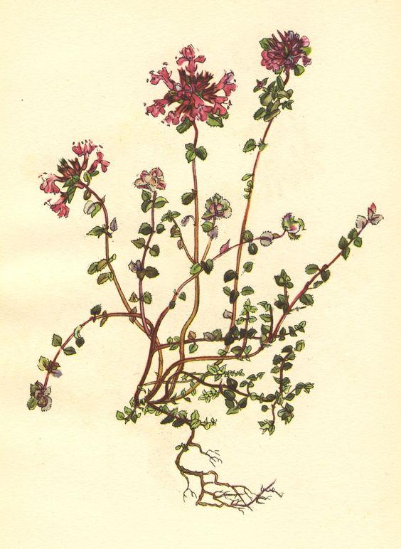 Wild Thyme (Thymus serpyllum), illustration by Irene Hawkins. John.