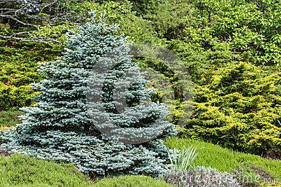 Blue Spruce Stock Photo.