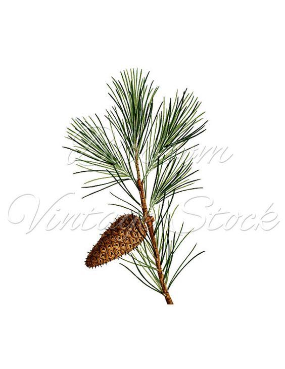 Pine Branch, Pine Cone Botanical Print Image, Botanical.