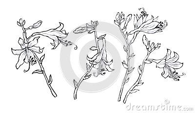 Hosta Plant Stock Illustrations.