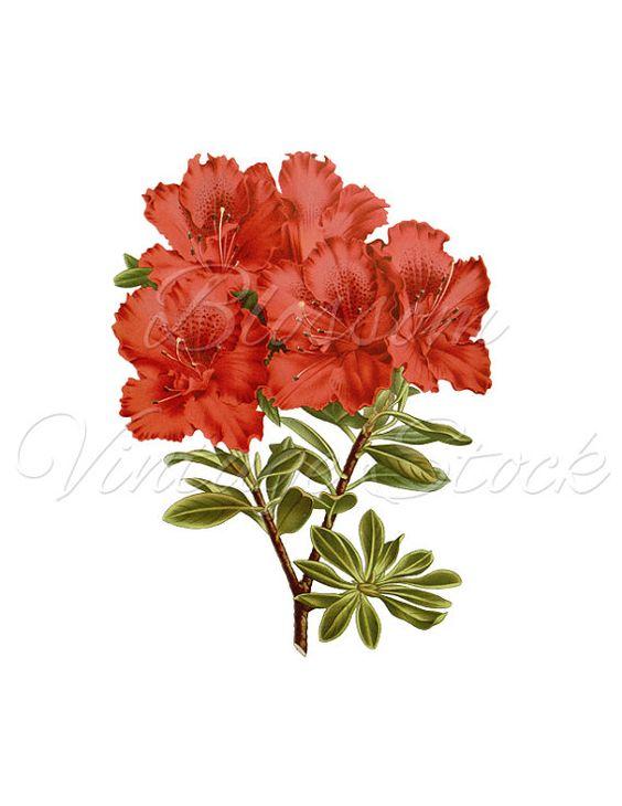 Red Flowers Botanical Print, Botanical Clipart PNG Digital Image.