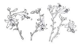 Hosta Stock Illustrations.