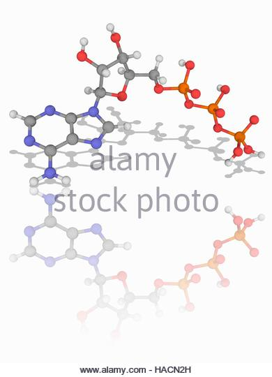 Adenosine Stock Photos & Adenosine Stock Images.