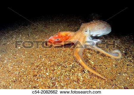 Stock Photo of Lesser octopus (Eledone cirrhosa) devouring to Red.