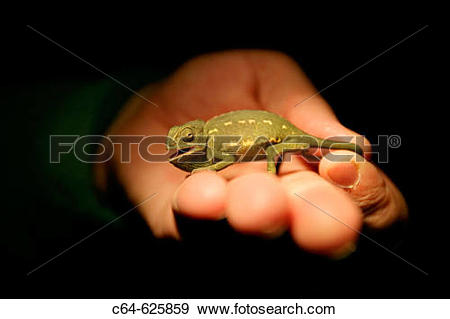 Stock Photograph of Common Chameleon (Chamaeleo chamaeleon). Cadiz.