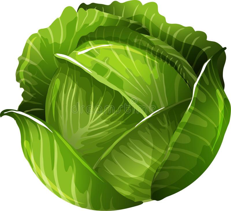 Cabbage Stock Illustrations.