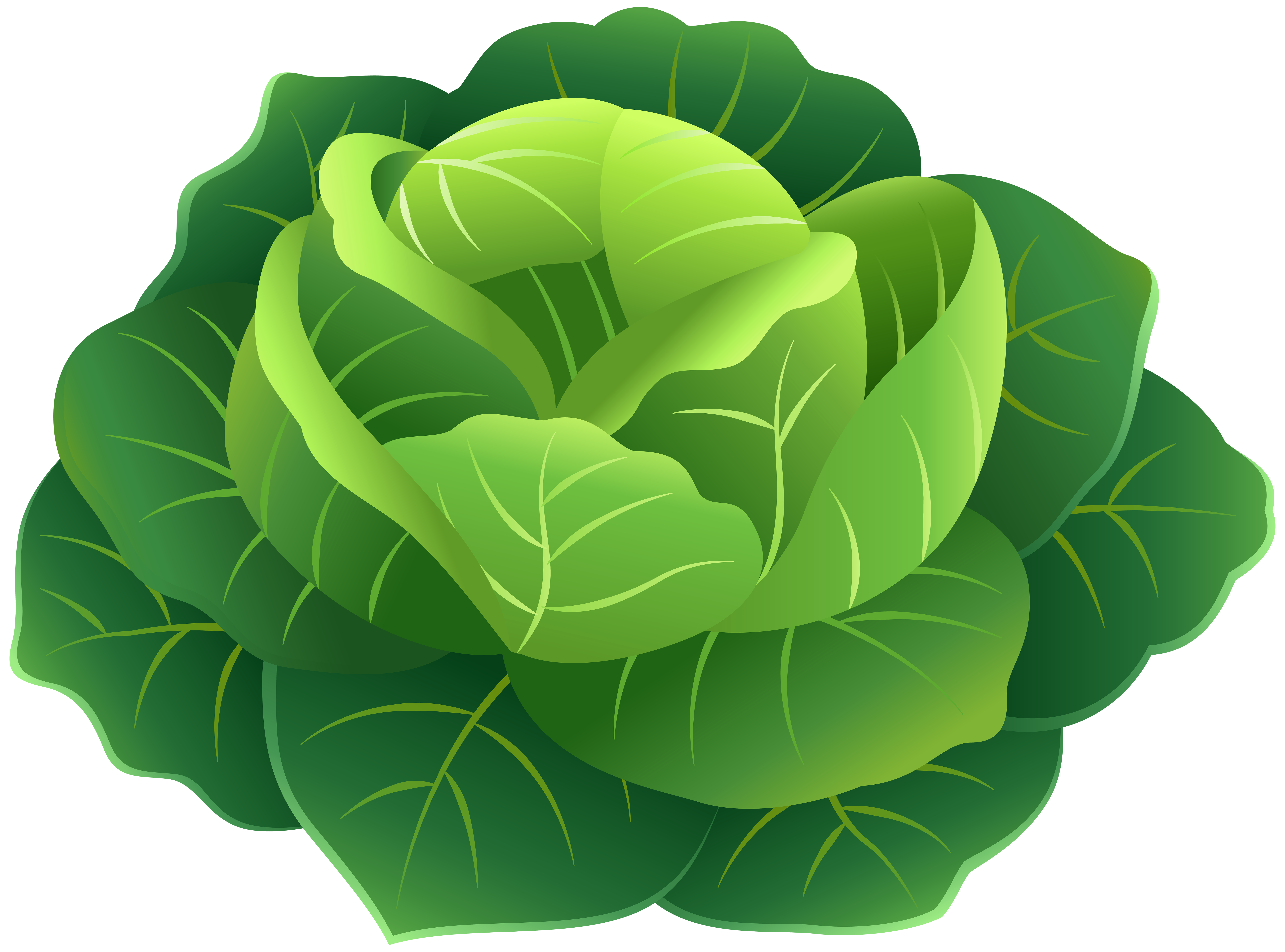 Cabbage PNG Clip Art Image.