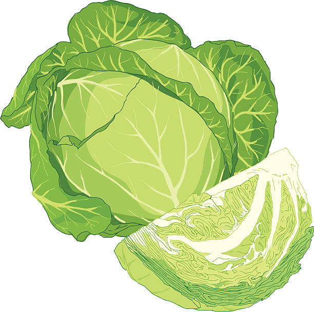 Best Cabbage Illustrations, Royalty.