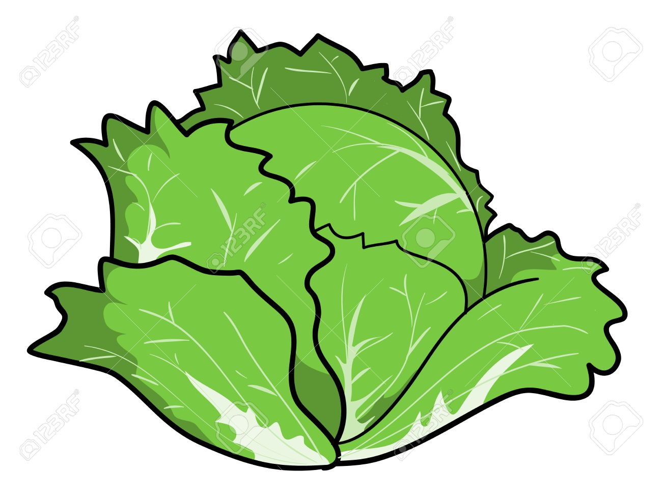 Cabbage, a hand drawn vector illustration of a fresh cabbage,...