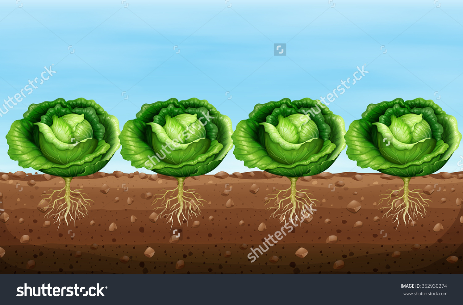 Cabbage Plants On Ground Illustration Stock Vector 352930274.