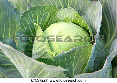 Picture of Harvest of the cabbage k7537227.