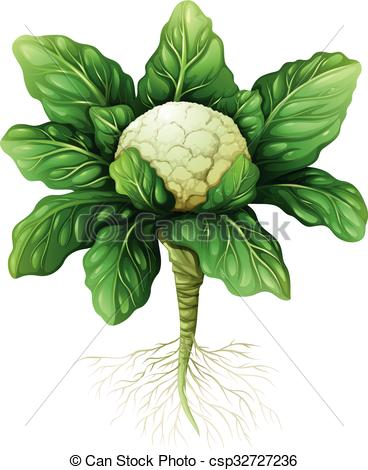 Vectors of Cauliflower with leaves and roots illustration.
