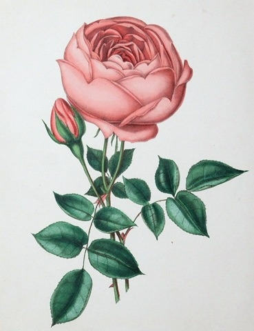 1000+ images about Inspiration: Roses on Pinterest.
