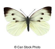 Cabbage butterfly Clipart and Stock Illustrations. 92 Cabbage.