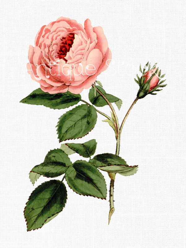Cabbage Rose Clip Art Image Pink Provence Rose by AntiqueStock.