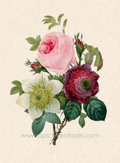 cabbage rose illustration.