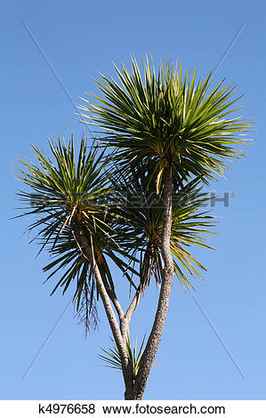 Pictures of Cabbage tree (New Zealand) k4976658.