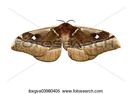 "Stock Image of ""Cabbage Tree Emperor Moth (Bunaea alcinoe), Oromia."