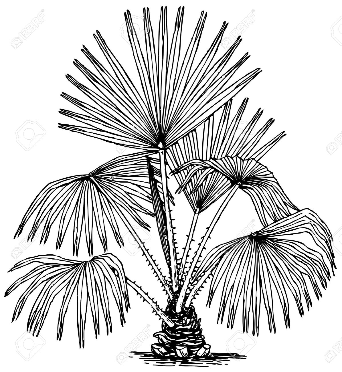 Swamp cabbage tree clipart.