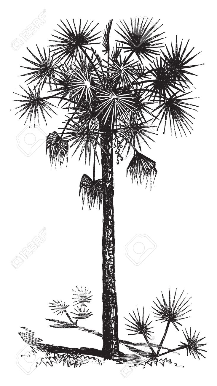 Cabbage Trees Stock Photos & Pictures. Royalty Free Cabbage Trees.