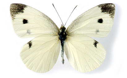 Citizen Science Project Wants YOU to Collect Cabbage White.