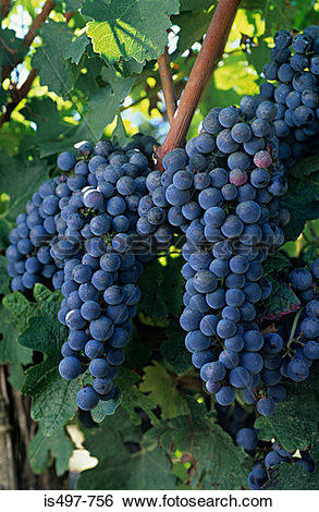 Stock Images of Cabernet sauvignon grapes is497.