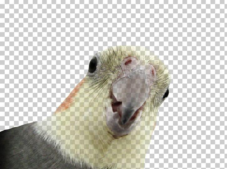 Parrot Cockatiel Cacatua Nimfa PNG, Clipart, Animals, Beak.