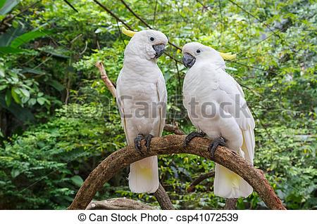 Stock Photos of Cute couple of white Cockatoo (Cacatua galerita.