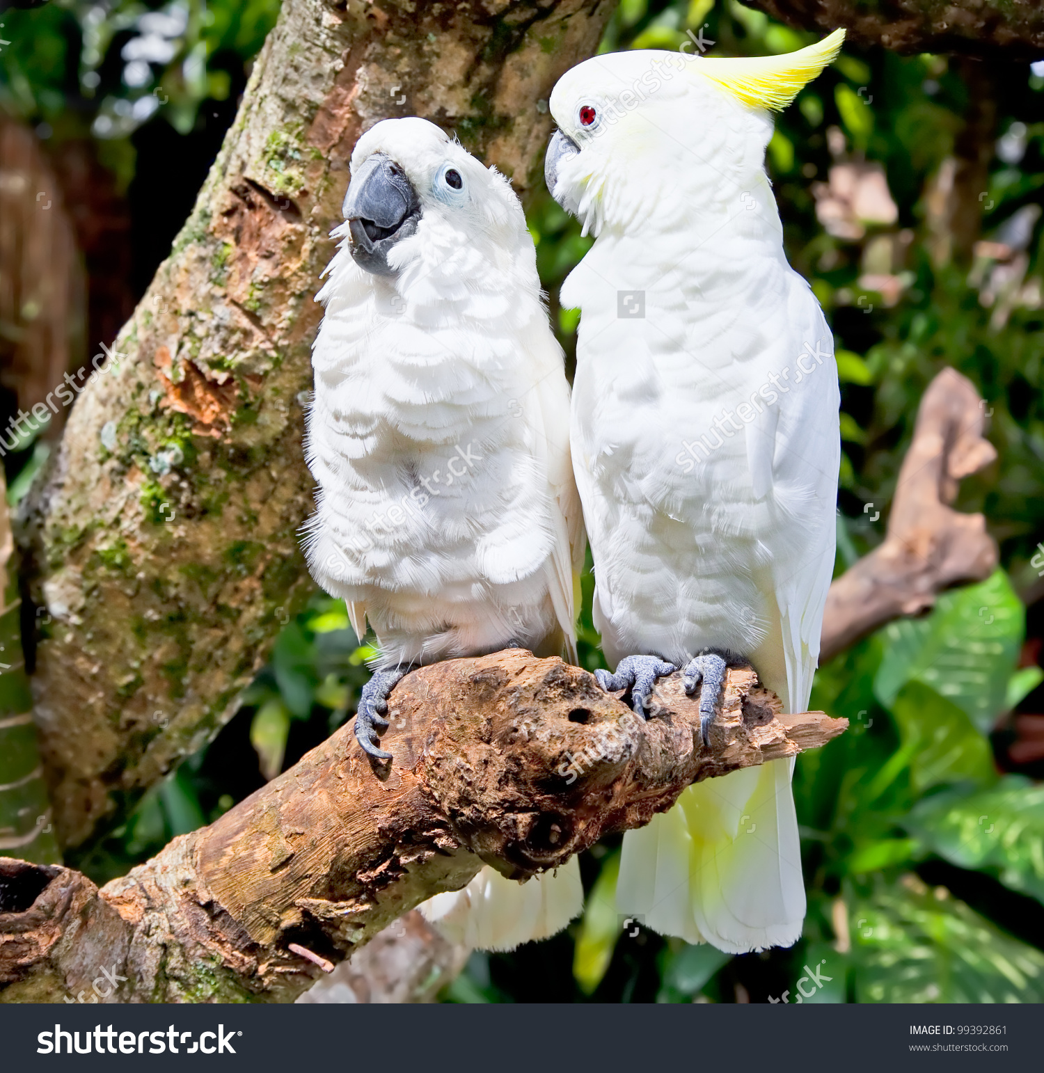 Yellowcrested White Cockatoo Cacatua Galerita Cacatua Stock Photo.