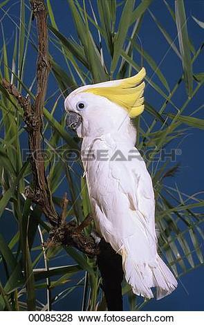 Pictures of Cacatua, Cacatua galerita, Juniors, animal, animals.