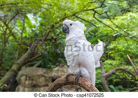 Stock Photo of white Cockatoo, Sulphur crested Cockatoo (Cacatua.