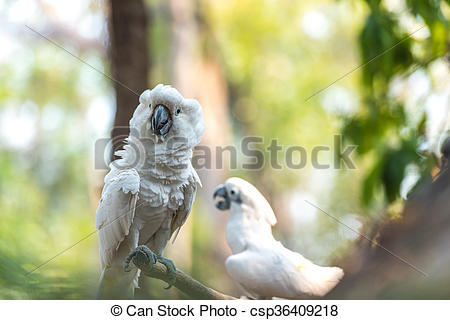 Stock Photography of Angry white Cockatoo, Sulphur.