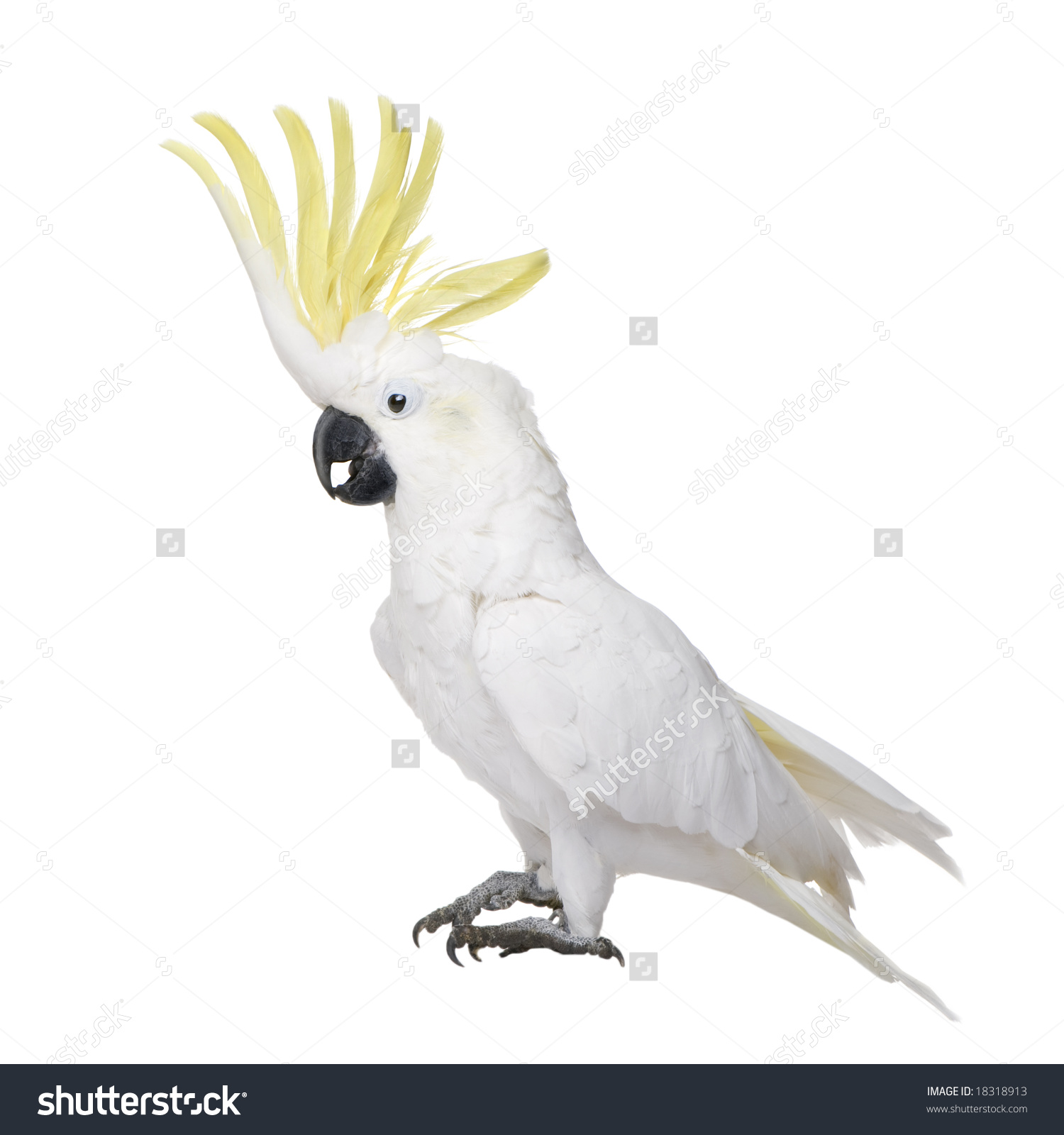 Sulphurcrested Cockatoo 22 Years Cacatua Galerita Stock Photo.